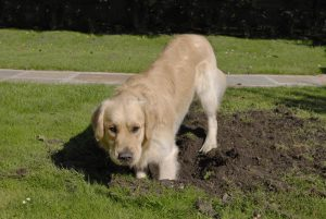 Dog digging in the backyard may disturb your water or sewer line